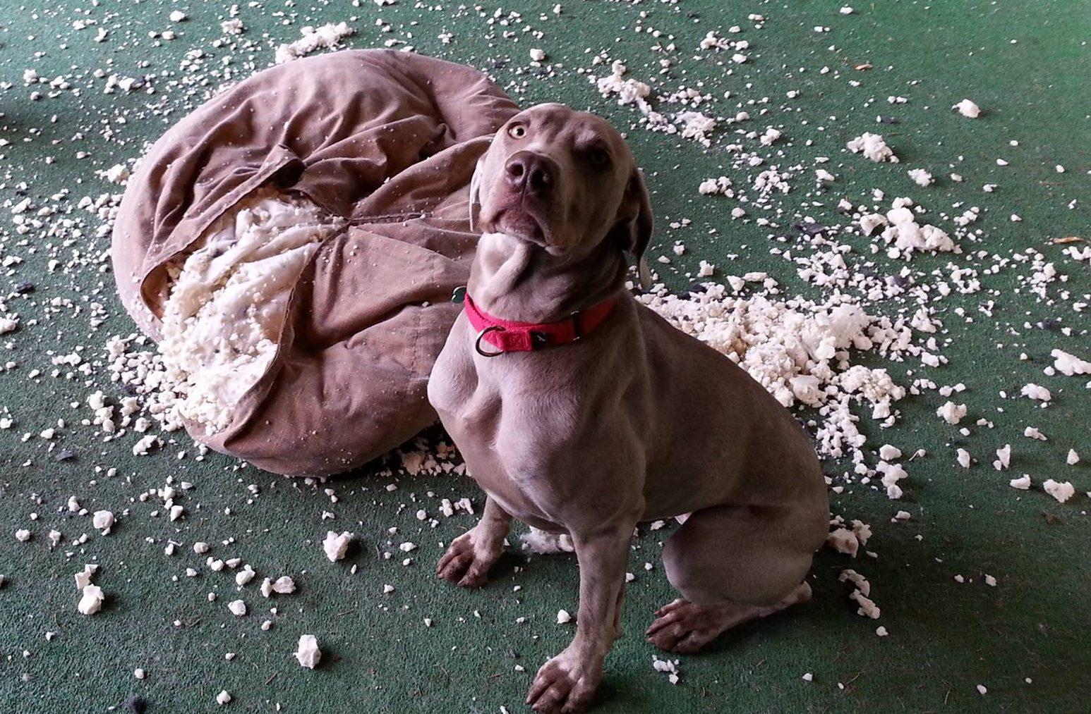 Хозяйка нашла способ успокоить собаку, которая не выносит одиночества
