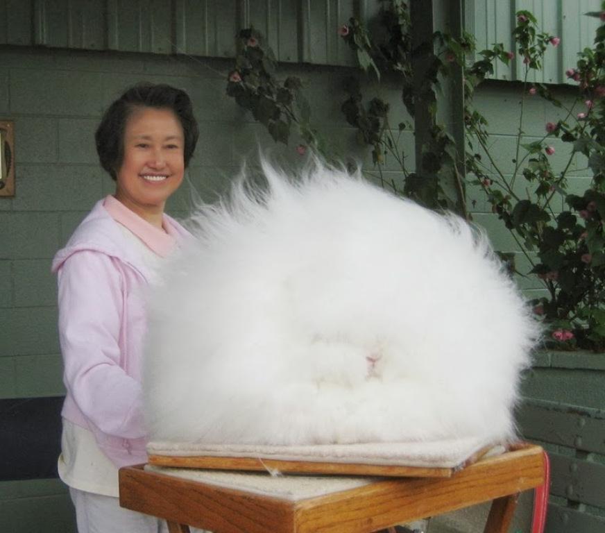 Чудо зверь, или Как выглядят самые пушистые кролики в мире