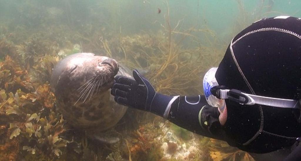 В гости к тюленю: незабываемая встреча дайвера с морским животным на глубине