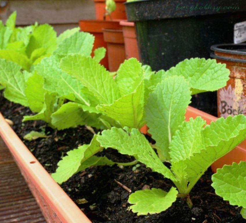 Специи, которые можно выращивать в горшках