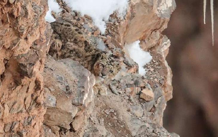 Где на снимке спрятался снежный барс - не каждый может сразу отыскать зверя (фото)