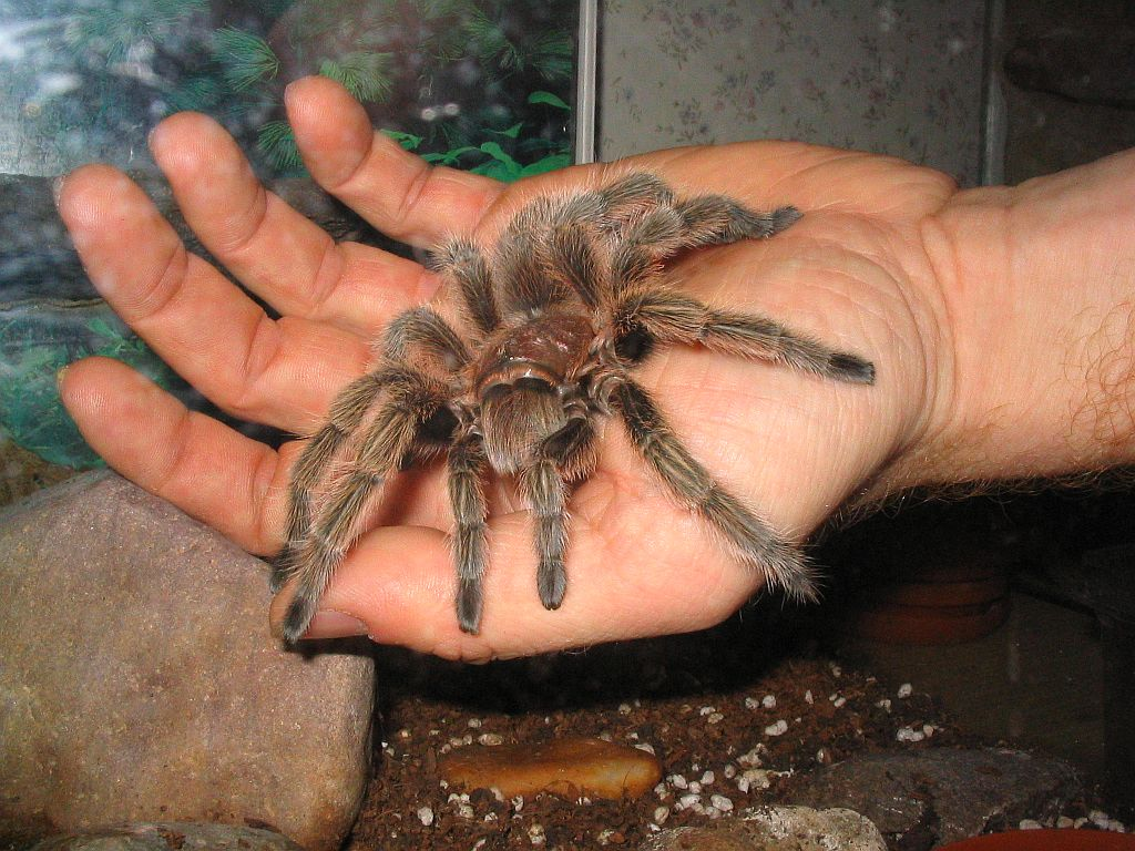 Мужик купил тарантула, чтобы к нему не приходила теща