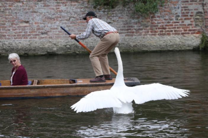 Зачем приплыл сюда? Дикий лебедь продолжает семейную традицию, нападая на проплывающих мимо людей. Его отец и дед вели себя также