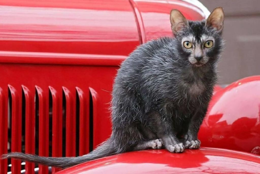 Ликой   кот с внешностью оборотня: новая порода завоевывает сердца ценителей
