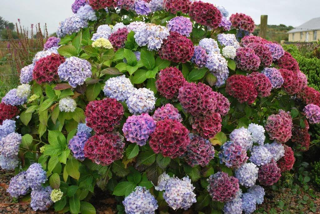 работе кустовые садовые цветы фото и названия животного есть блохи