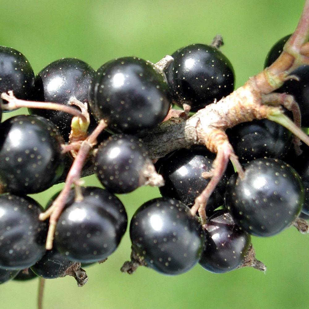 Вино из черной смородины: готовить непросто, но оно того стоит