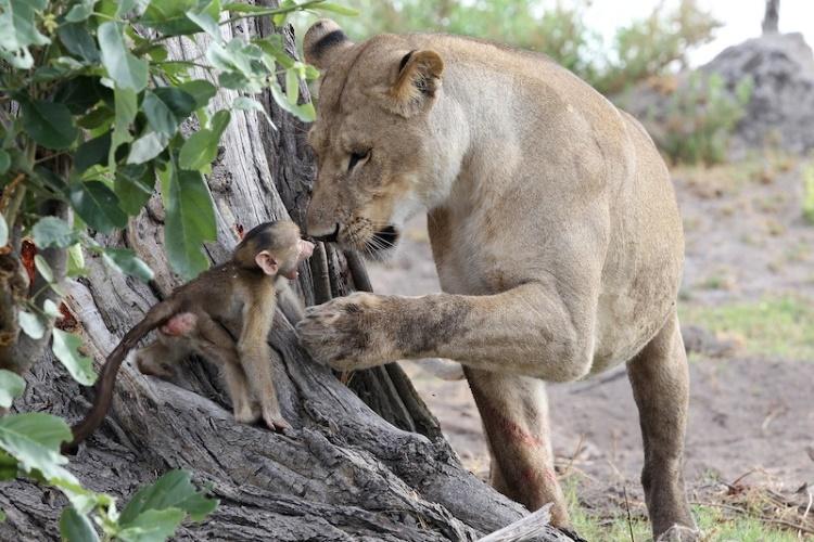 Смешные картинки обезьяна и лев, любимой воспитательнице