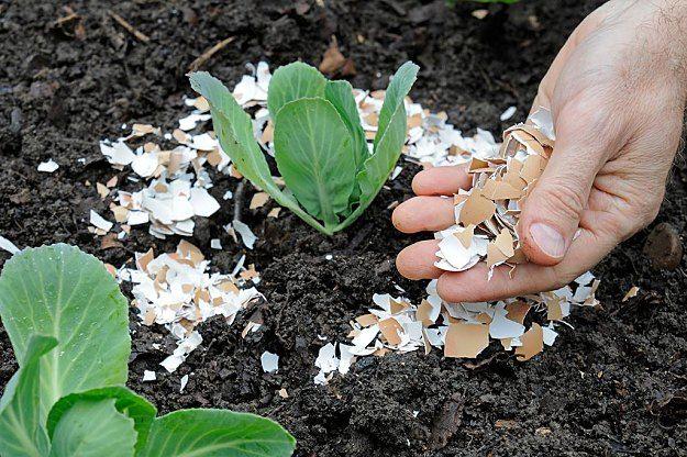 Сырое яйцо, «посаженное» в горшок с землей, будет служить отличным удобрением цветам или рассаде