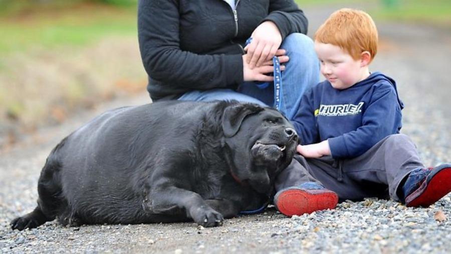 Ожирение опасно не только для людей. Как семья, взявшая лабрадора весом 70 кг, помогла ему сбросить вес и вернуть здоровье