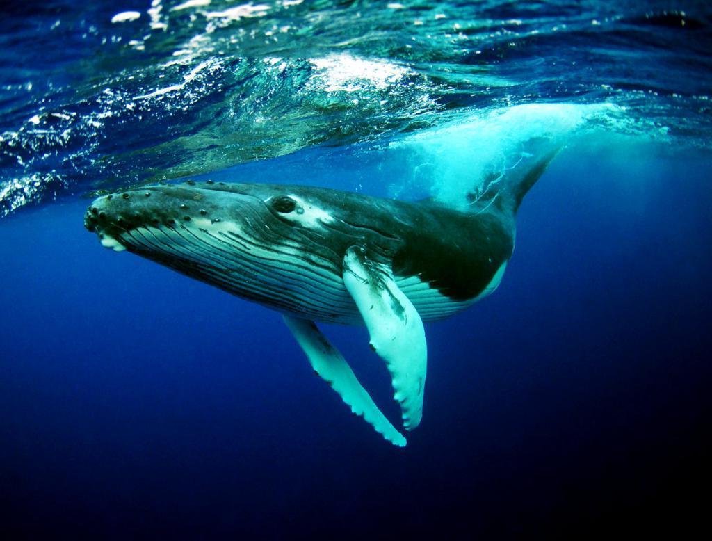 самое большое животное в океане фото этого приготовленную