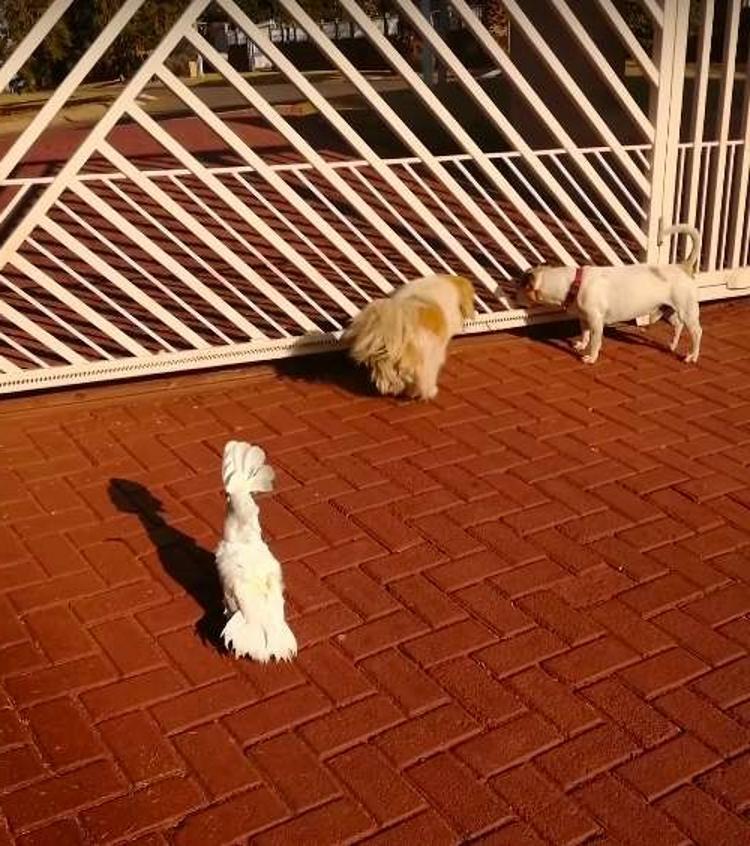 Какаду думает, что он сторожевой пес. Поэтому тоже лает, как и окружающие его собаки