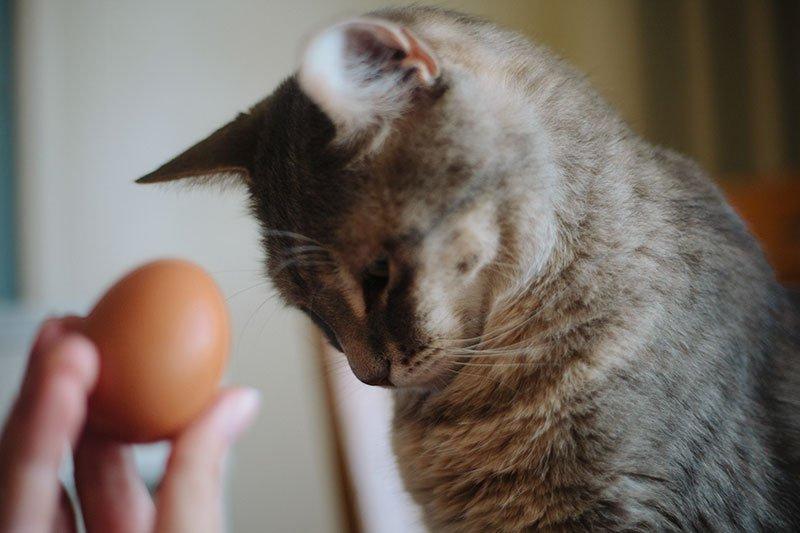 Кошка и яичница: можно ли давать котам яйца и как не навредить их здоровью