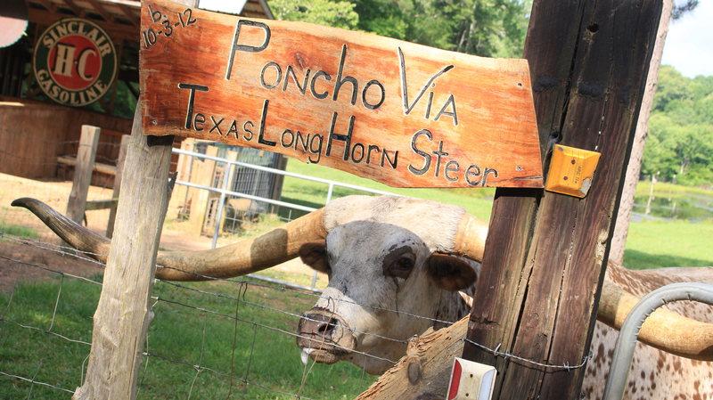 Техасский бык попал в Книгу рекордов Гинесса из-за рогов длиной 2,5 метра