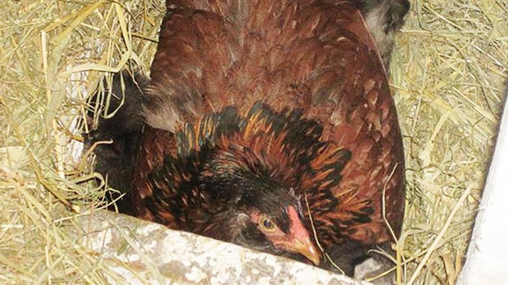 Женская солидарность: фермер был уверен, что несушка высиживает яйца, но увидел вместо них котят