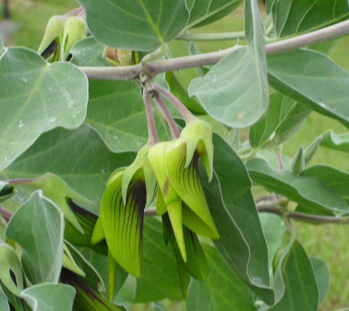 Лепестки этого цветка выглядят как птичка колибри
