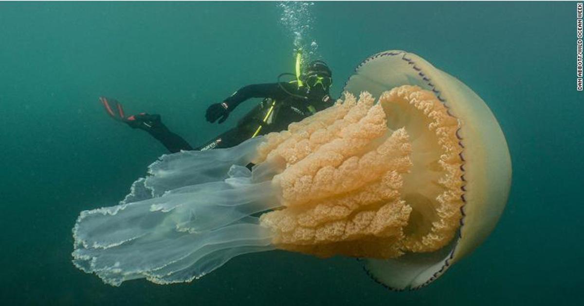 Гигантская медуза у берегов Англии ошеломила дайвера - а потом и всю страну