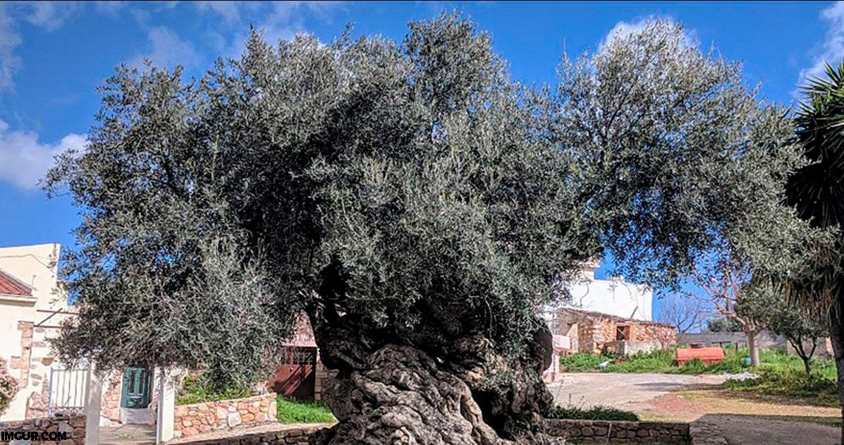 На острове Крит есть 3000 летнее оливковое дерево   и оно до сих пор плодоносит