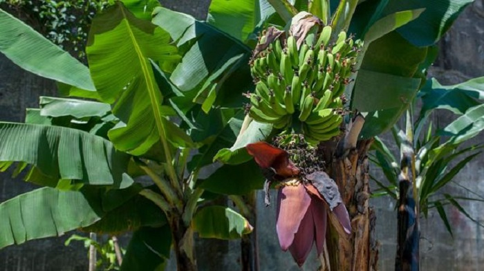 В Латинской Америке обнаружили вирус, который может погубить банановые культуры