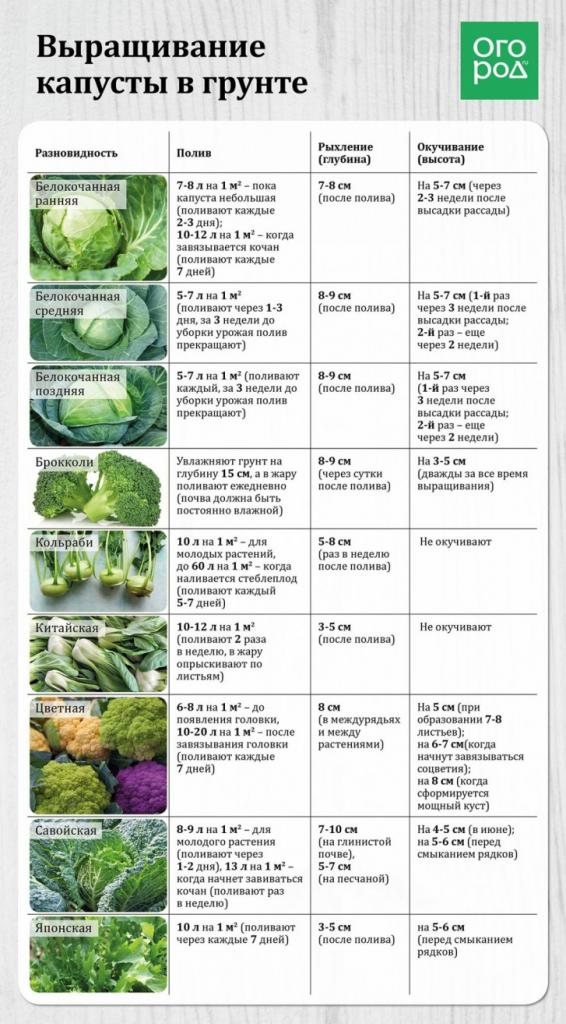 Даже в самое дождливое лето я умудряюсь собрать обильный урожай капусты: мой секрет - в правильной подкормке и выборе сорта