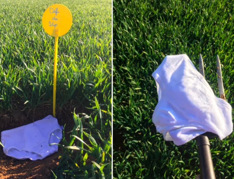 Французские фермеры закапывают в поле нижнее белье из хлопка, чтобы определить качество почвы