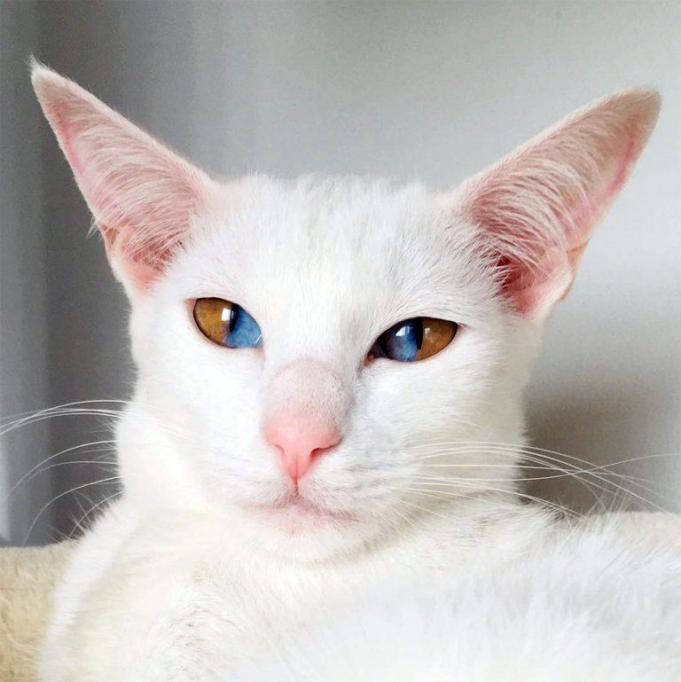 Странная генетическая комбинация: в Дербишире живет кошка с разноцветными глазами