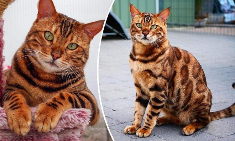 Полосы тигра и пятна леопарда: уникальный окрас домашнего кота завораживает (фото)