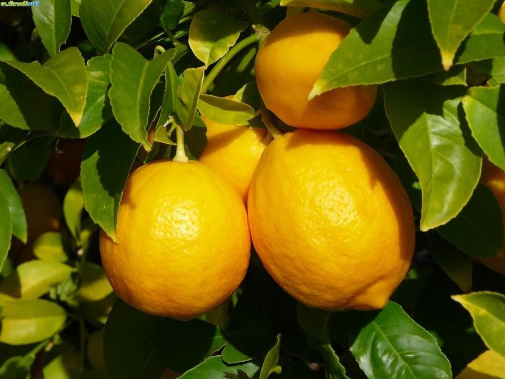 Средство от насекомых и мгновенный освежитель воздуха: подруга рассказала, как она использует лимон
