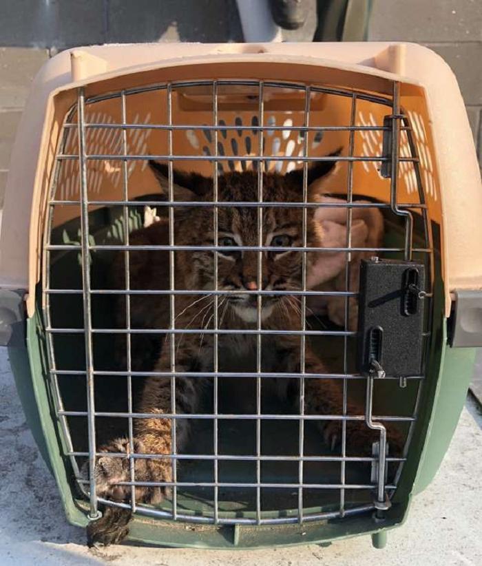 Полицейский погнался за котенком, чтобы ему помочь, пока не понял, что это рысь