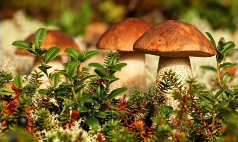 Мама боится ходить в лес, поэтому разводит грибы прямо на даче. Никаких канцерогенов, и вкусный урожай обеспечен