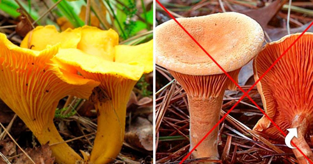 Ложная лисичка и мухомор весенний: как выглядят двойники популярных грибов