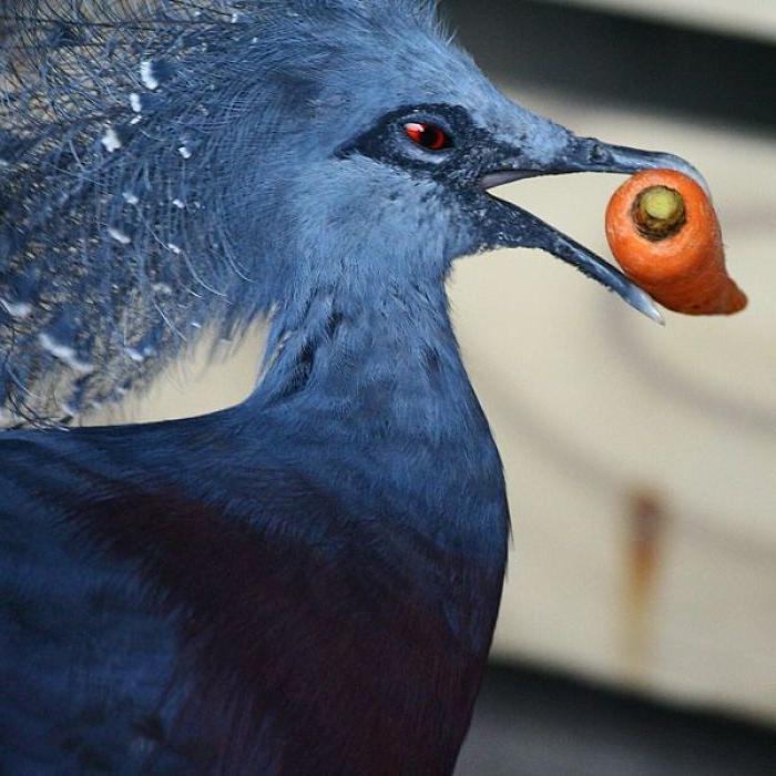 Голубь, который может вырасти до размера индейки: одна из самых красивейших птиц планеты