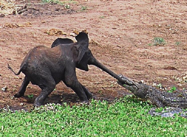 Мама услышит, мама придет... : слониха спасла своего малыша от зубов крокодила (фото)
