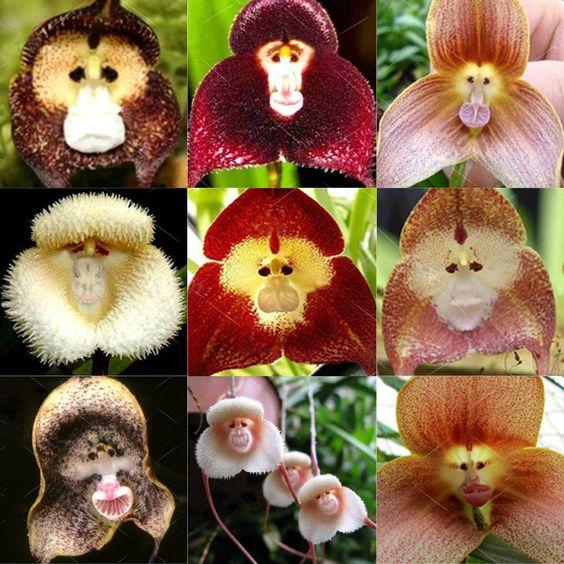 Редкие виды орхидей, которые похожи на маленькие обезьяньи морды