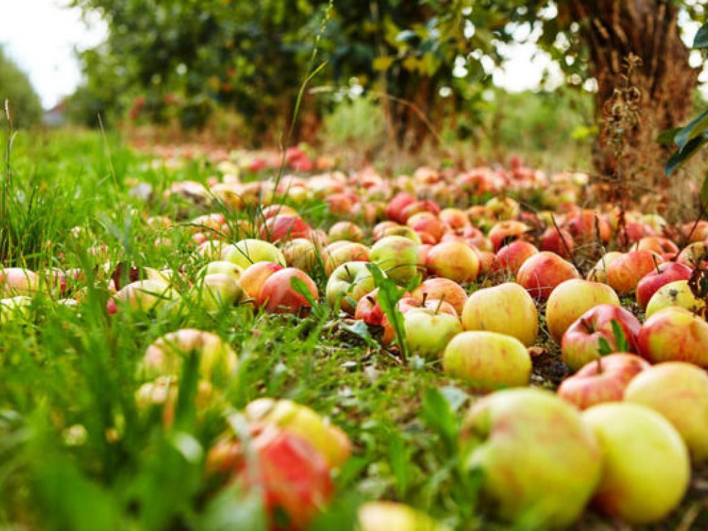 Оказывается, урожай яблок может указать на некоторые проблемы в саду. Это хорошая подсказка для садовода