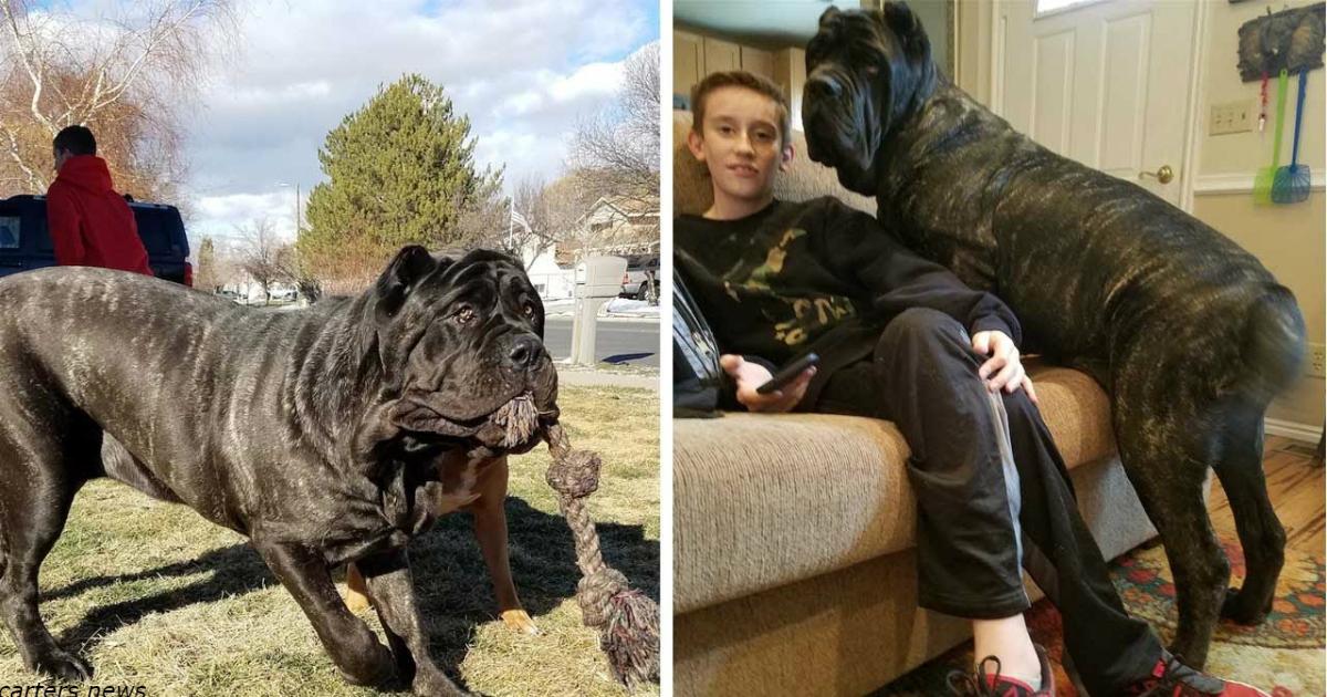 Знакомьтесь: щенок самой большой в мире породы собак