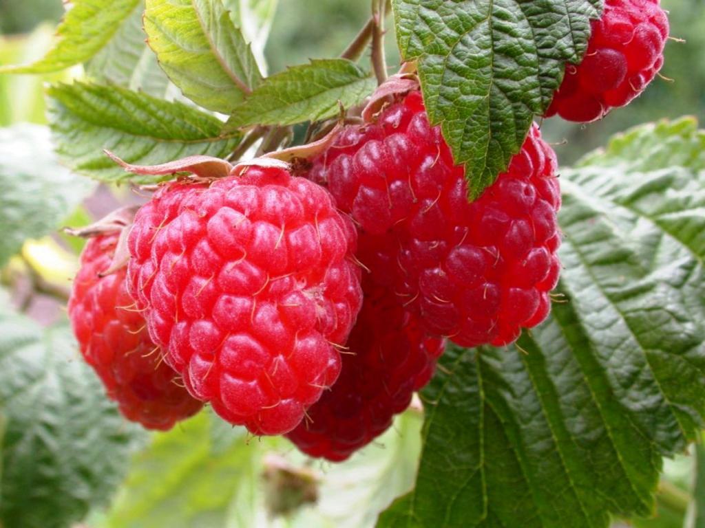 Не думала, что малина может быть опасной: теперь с осторожностью отношусь к любимой ягоде