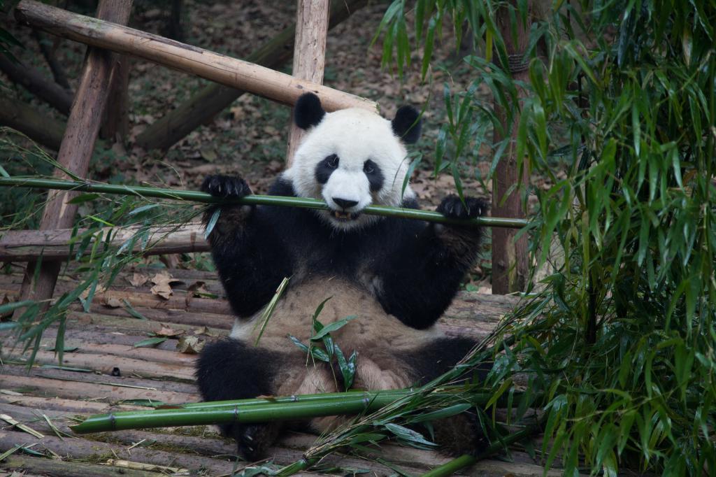 Чтобы защитить исчезающий вид, Китай продвигает строительство национального парка гигантских панд