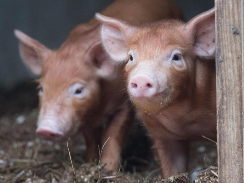 В штате Аризона нельзя кормить свиней   10 самых нелепых законов из разных штатов Америки