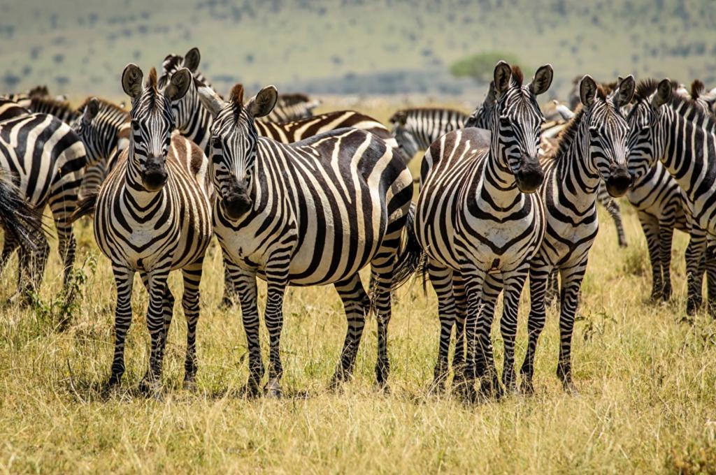В Кении родилась зебра, у которой пятна вместо полос. Как выглядит юное  чудо : фото