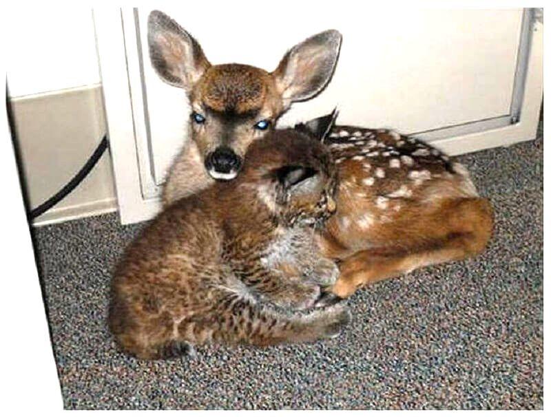 Парень спас рысь и олененка от лесного пожара. Понимая, что самостоятельно они не выживут, он поселил их у себя, и они так и не смогли расстаться