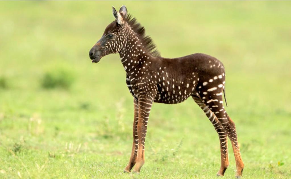 В Кении родилась зебра, у которой пятна вместо полос. Как выглядит юное