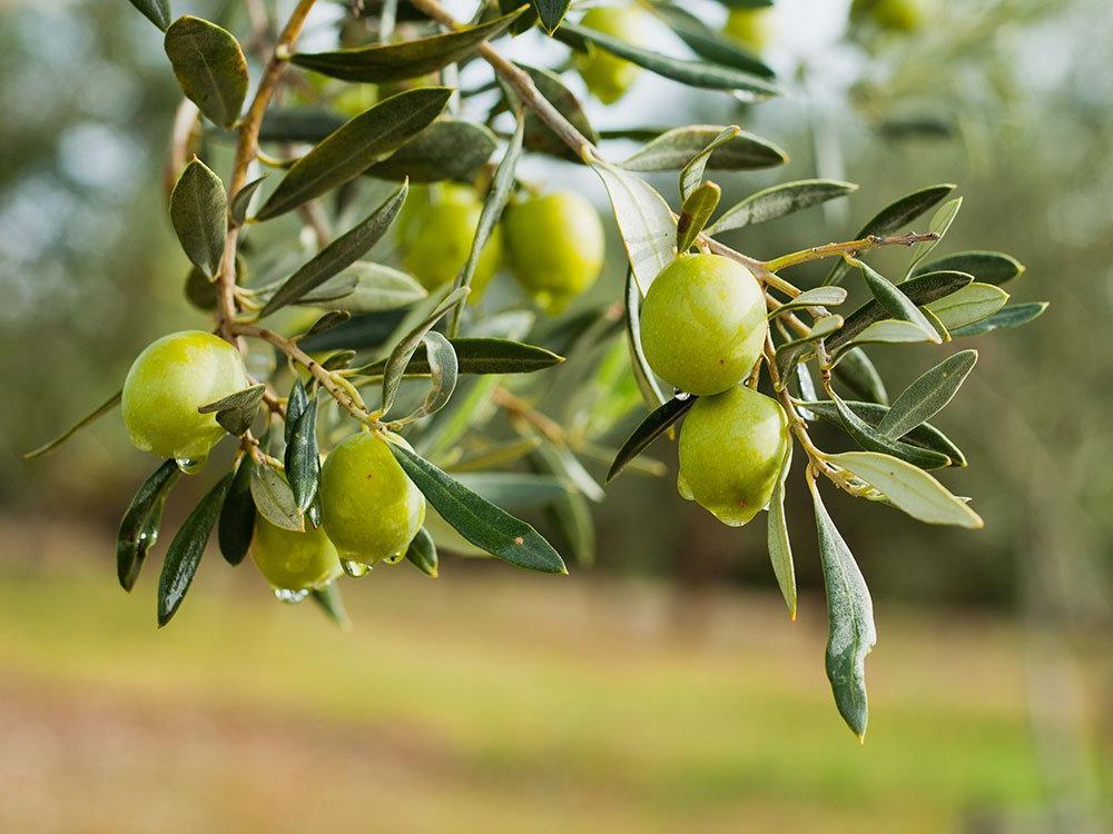 Только консервированные: почему в продаже не встречаются свежие оливки