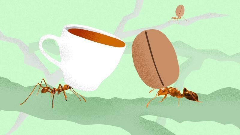Удивительная природа: в чем секрет бразильского кофе? Кофейные бобы собирают муравьи