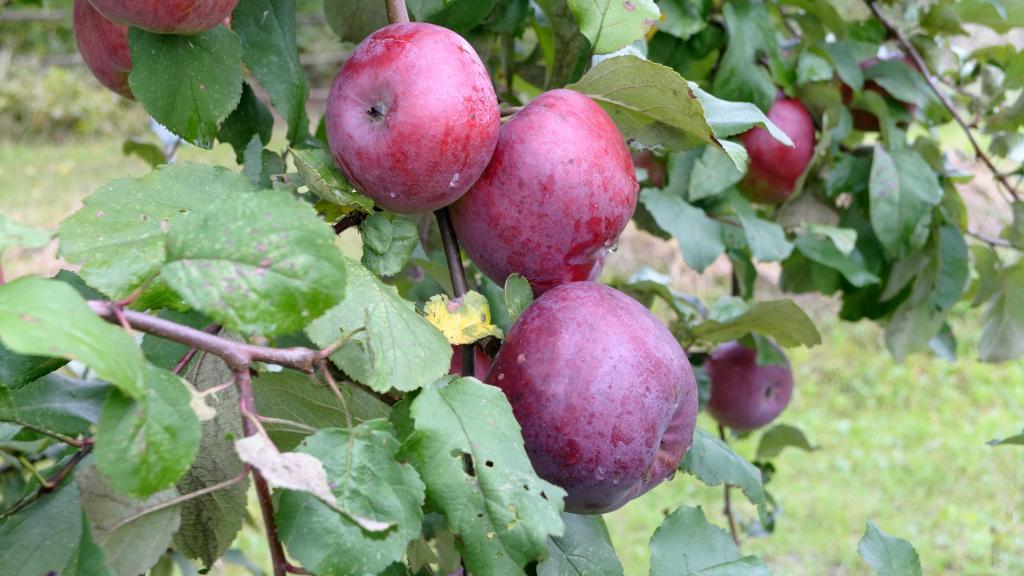 Дедушка поделился опытом: почему осенняя обрезка яблонь имеет больше преимуществ перед весенней
