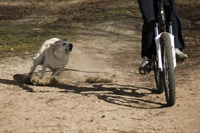 Собачья тайна: почему эти животные лают на колеса машин и велосипедов