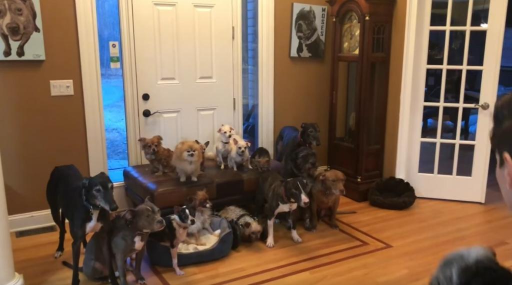 Семейное фото. Пара, которая содержит 17 собак, показала, как организует питомцев для совместного снимка: видео