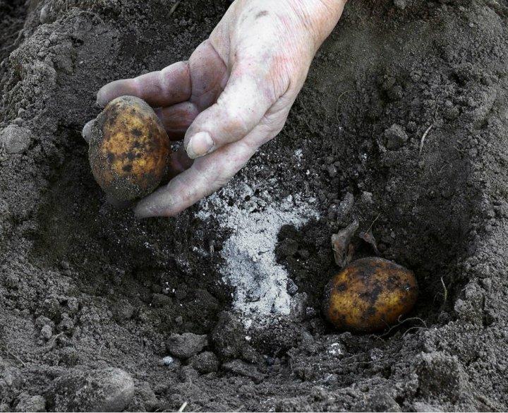 Озимая картошка: всегда сажаю картофель осенью, чтоб весной получить суперранний урожай