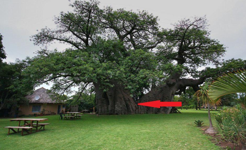 Внутри баобаба, которому около 6000 лет, находится комната: как она выглядит (фото)