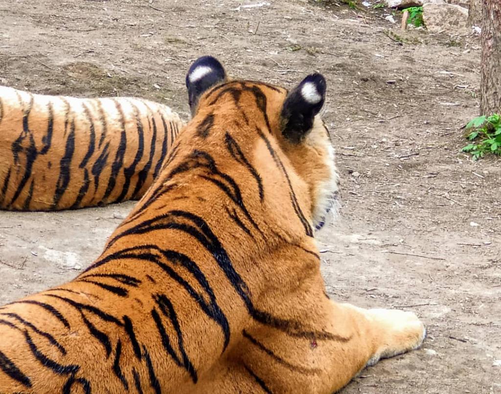 Пятна на ушах тигра очень похожи на глаза. Оказывается, это не случайно