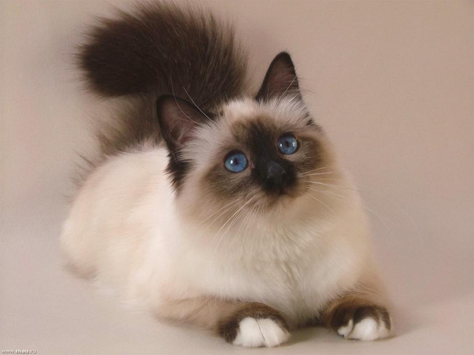 Кошки каких пород считаются мощными талисманами, притягивающими удачу и процветание